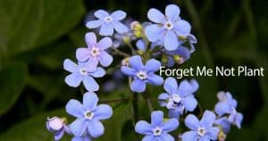 colorful forget me nots plant and flowers