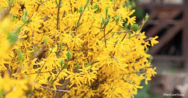 bright yellow blooms of the Forsythia bush