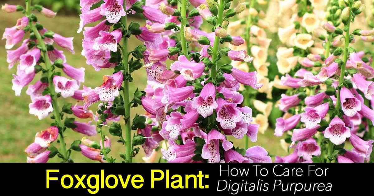 Flowers of the Foxglove - Digitalis purpurea