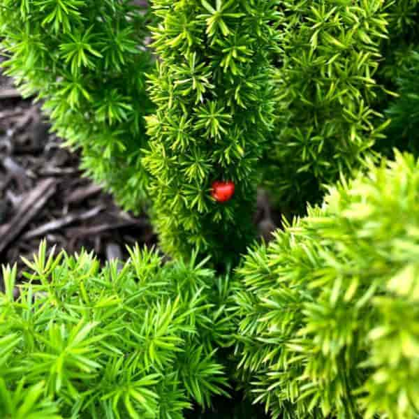 ripe red berry of foxtail fern  densiflorus