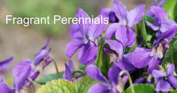 Fragrant Viola Odorata plant