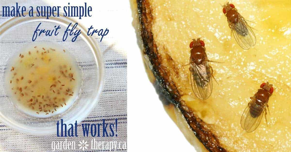 make a quick and easy fruit fly trap that works. Black Bedroom Furniture Sets. Home Design Ideas