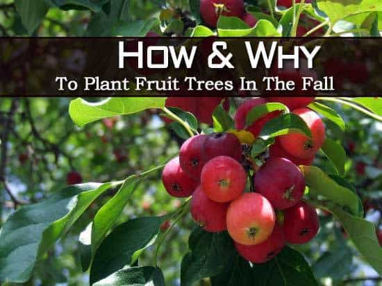How and why to plant fruit trees in the fall - Planting fruit trees in autumn ...