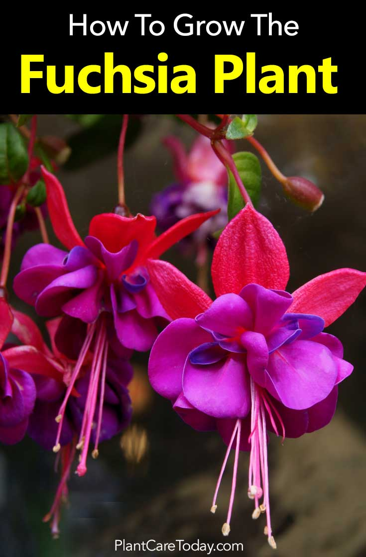 How To Care For The Fuchsia Plant -