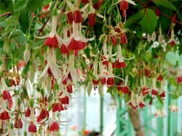 fuchsias-hanging