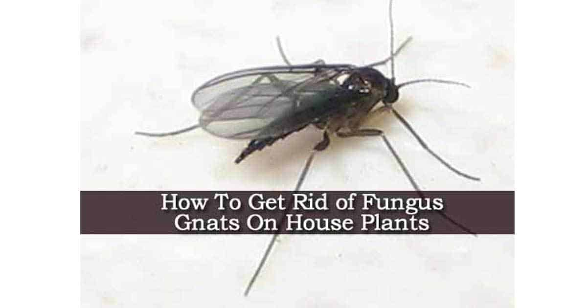 fungus gnats 09302016. How To Get Rid of Fungus Gnats On House Plants