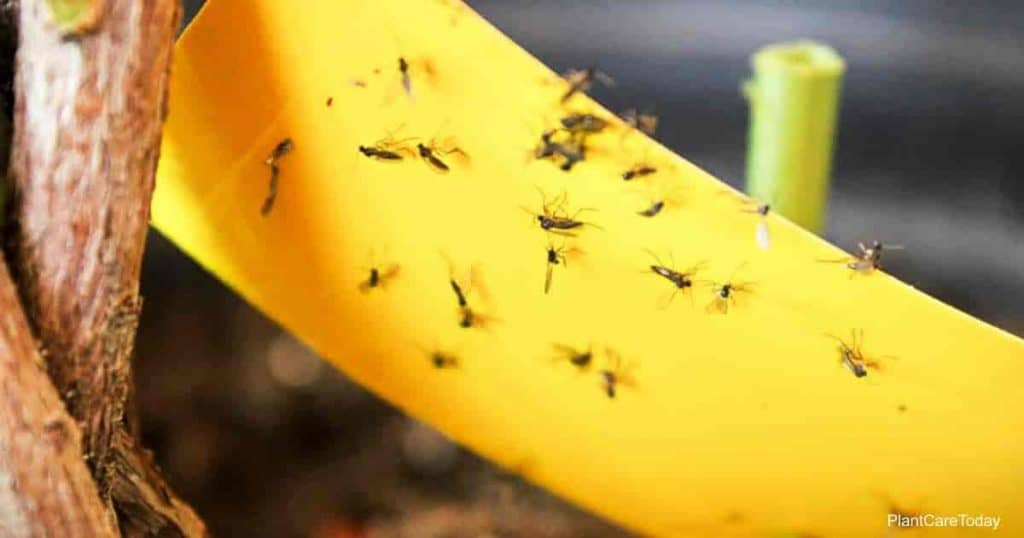 Controlling fungus gnats with Cinammon