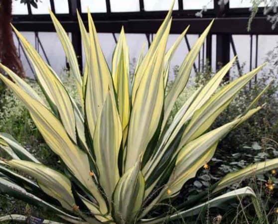 False Agave plant - Furcraea