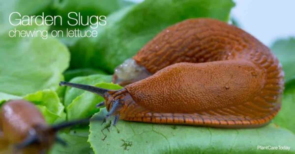 Garden slugs feeding on lettuce