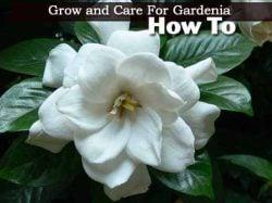 Gardenia Plants – How To Care For Gardenias