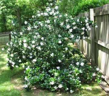 gardenia-bush-blooming
