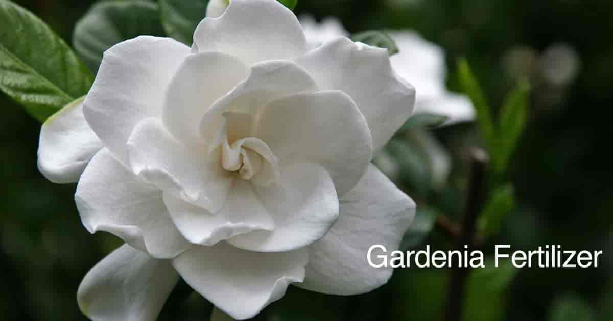 White, fragrant Gardenia flower needs the right kind of fertilizer