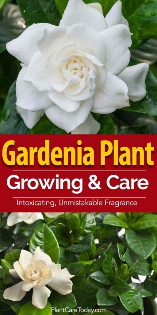 gardenia flower and plant up close