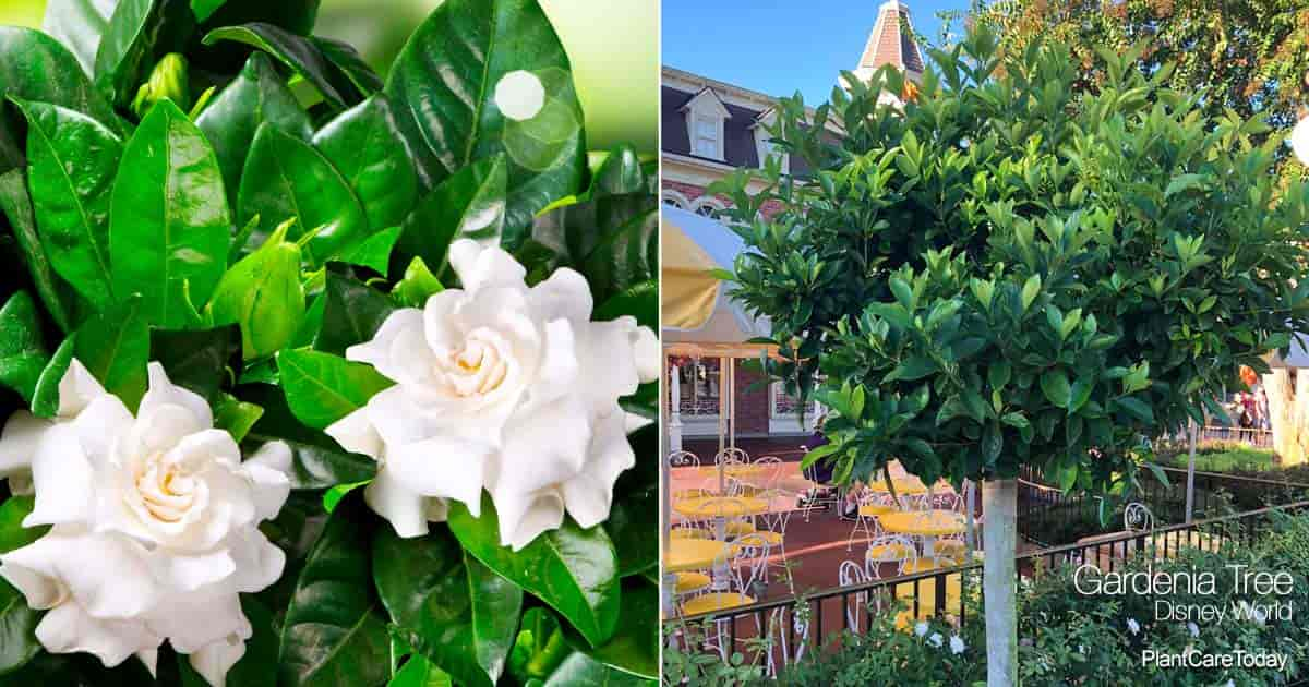 Gardenia tree planted near Castle - Orlando Florida