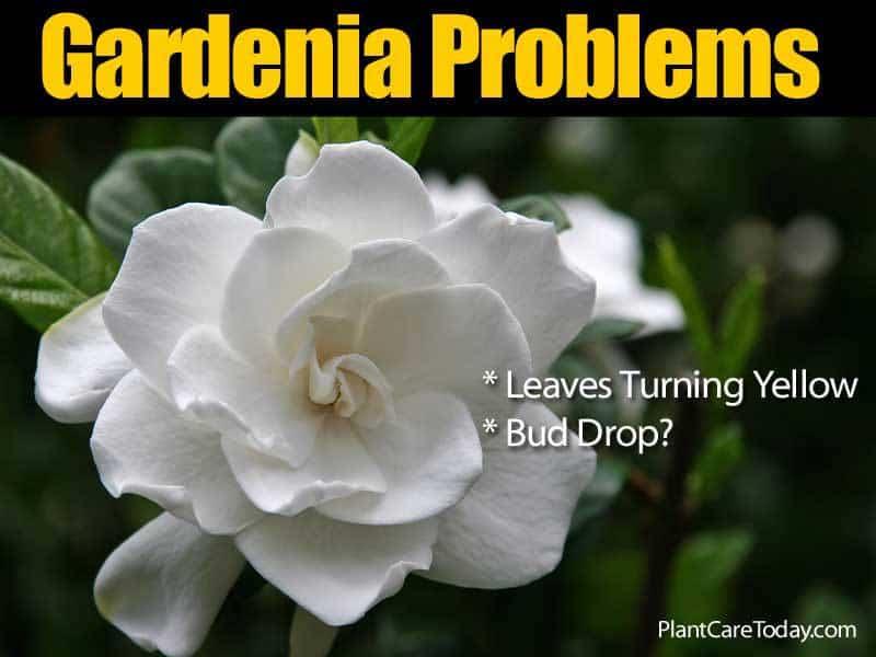 Gardenia Plant Problems