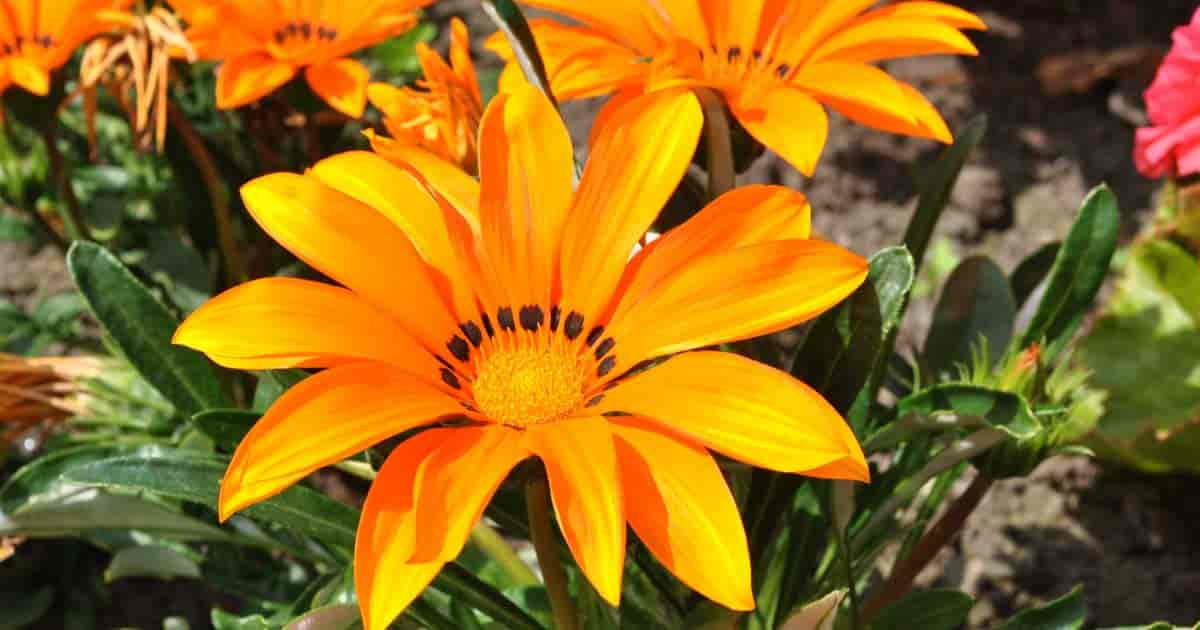 Bright, Colorful Gazania flower