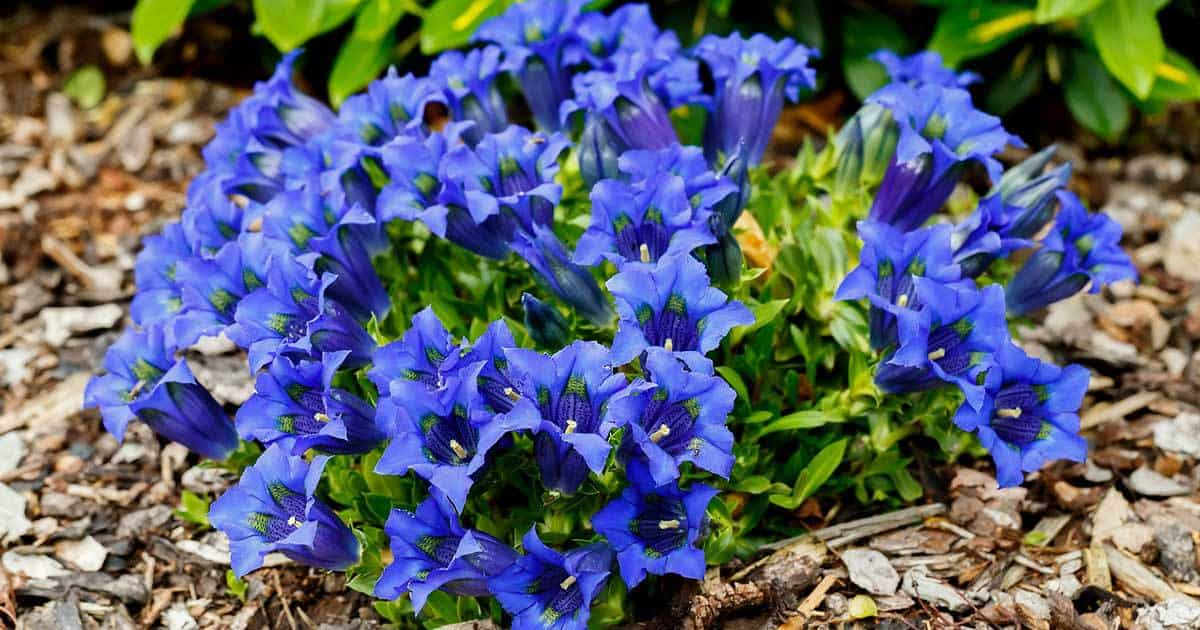 Growing Gentian Plants on Mountain Patio Ideas