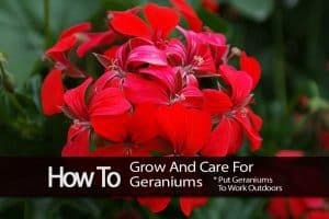 Geranium bloom
