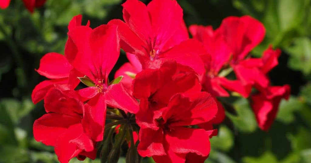 Red Geranium Flowers