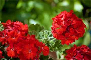 geranium-red-close