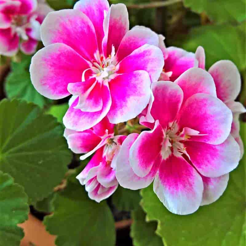 scented geranium flower