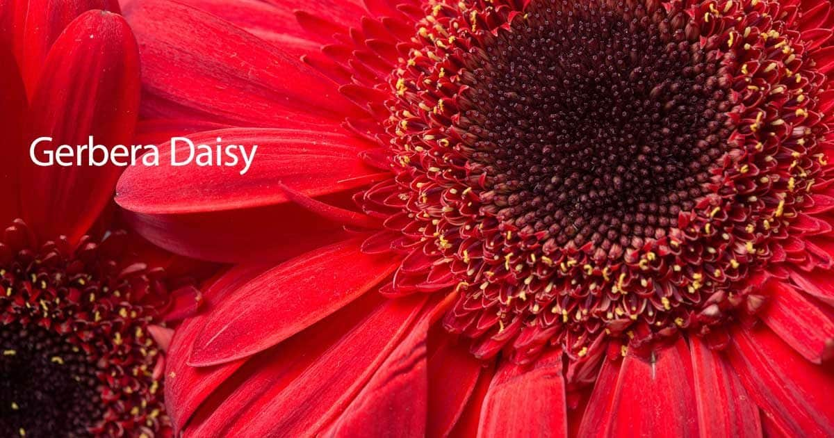Gerbera daisy how to grow and care for gerbera daisies Where did daisies originate