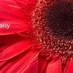 Gerbera Daisy: How To Grow And Care For Gerbera Daisies