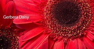 Flowering gerbera daisy up close outdoors in pots