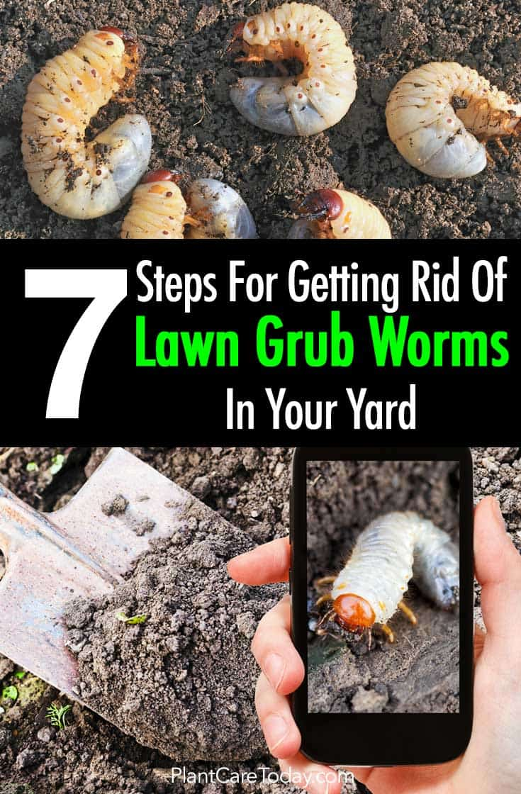 Lawn Grub Worm Control 10 Ways To Get Rid Of Grub Worms