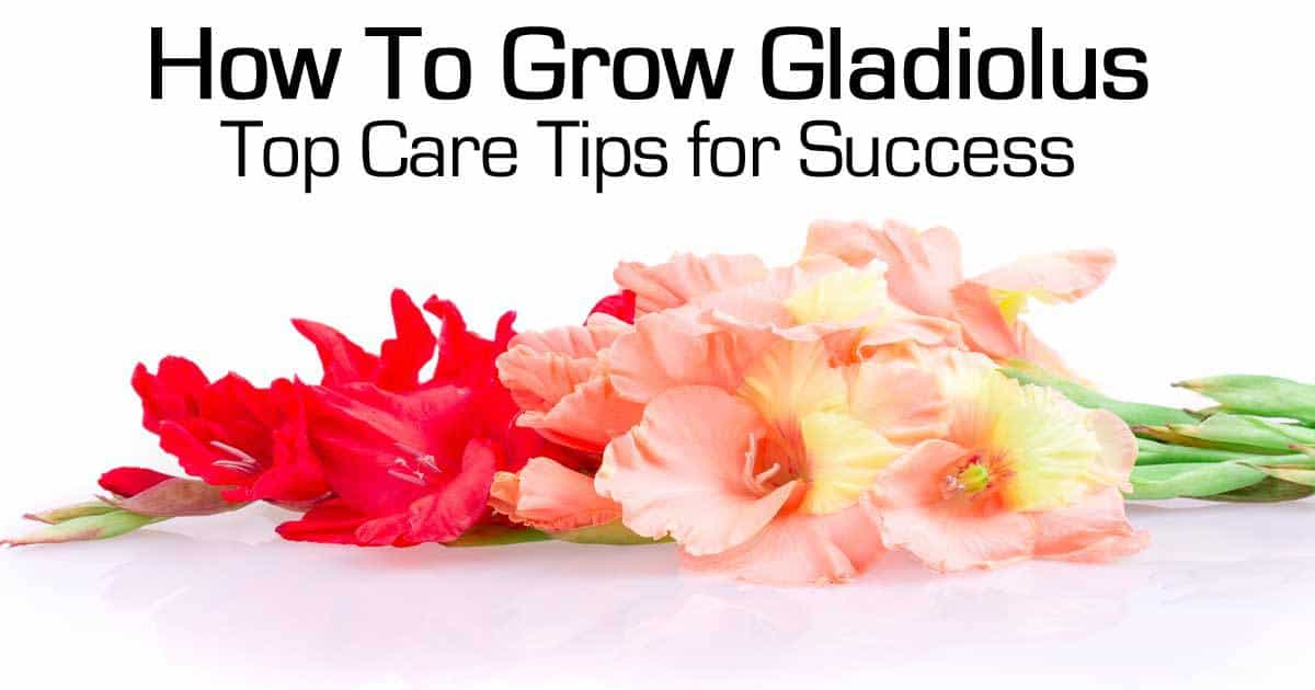gladiolus-103114