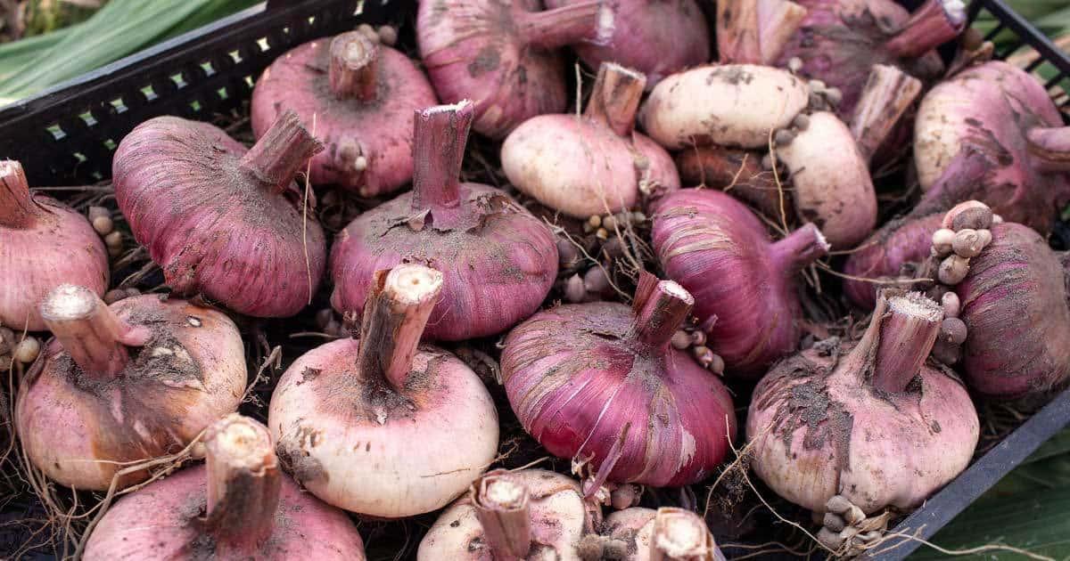 gladiolus-bulbs-09302015