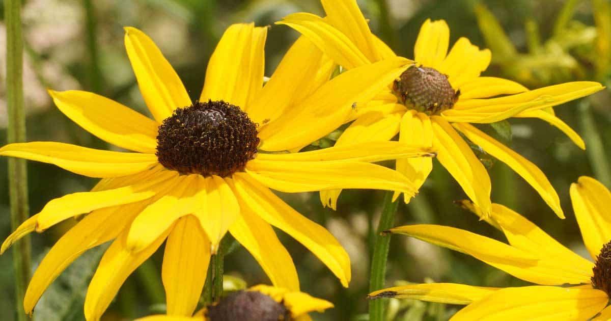 gloriosa-daisy-03312016