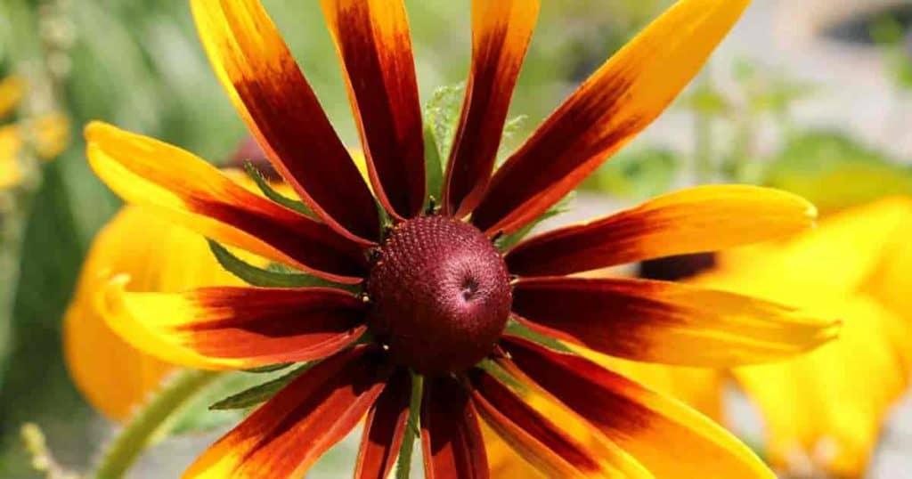 Flowering Rudbeckia Gloriosa Daisy