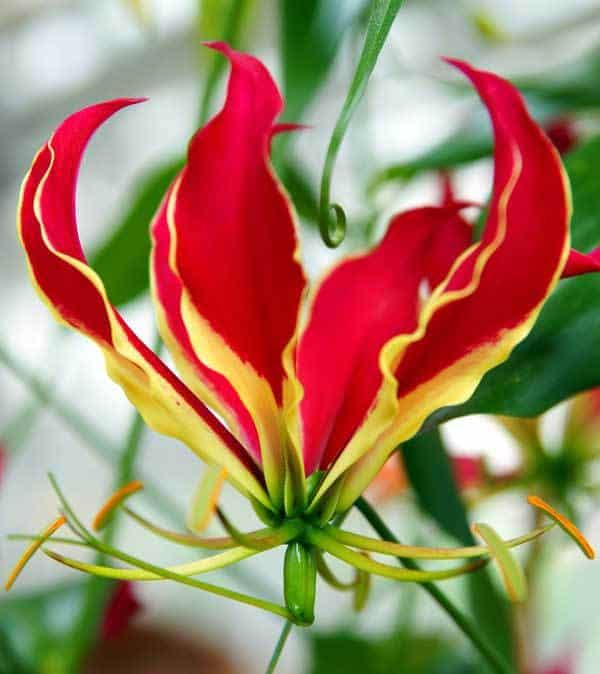 gloriosa flower up close