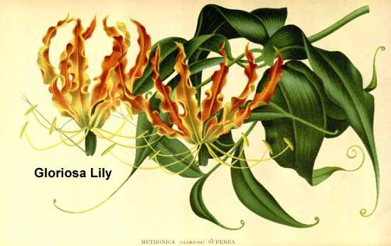 botanical drawing of gloriosa lily superba