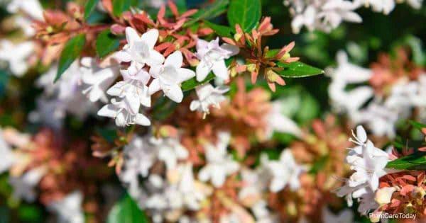 Blooms of Glossy Abelia (Abelia x grandiflora)