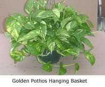 golden-pothos-basket