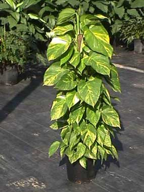 golden-pothos-totem-809