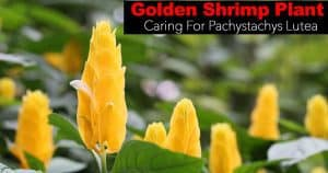 golden shrimp plant flowers of buttery yellow gold