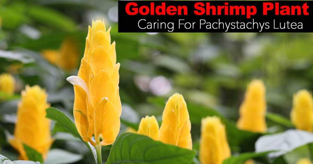Golden Shrimp Plant: How To Care For Pachystachys Lutea -