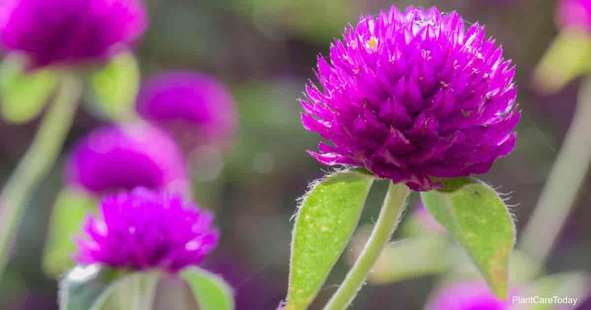 Attractive flowers of the Globe Amaranth (Gomphrena)