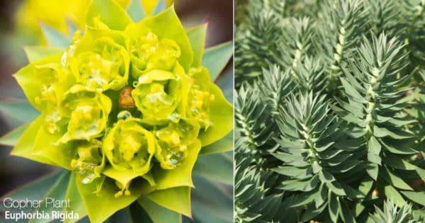 Flowering Gopher Spurge - Rigida Euphorbia