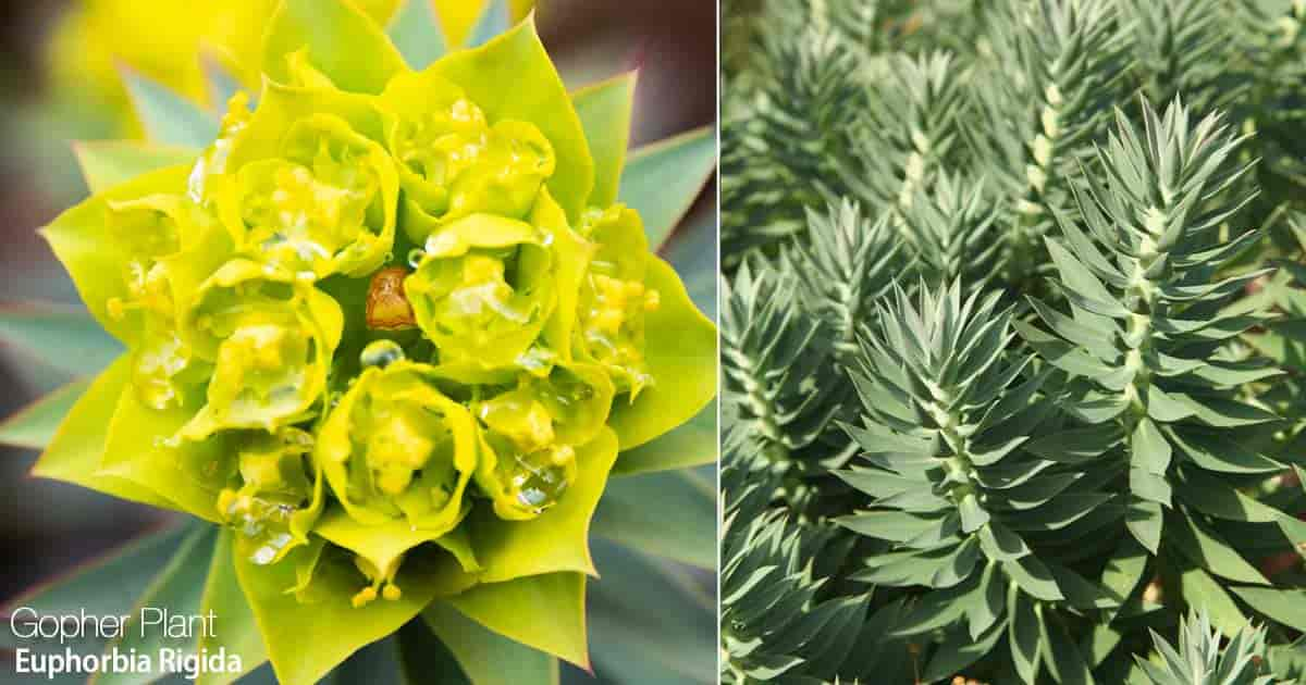 Flowering Gopher Spurge - Rigida Euphorbia