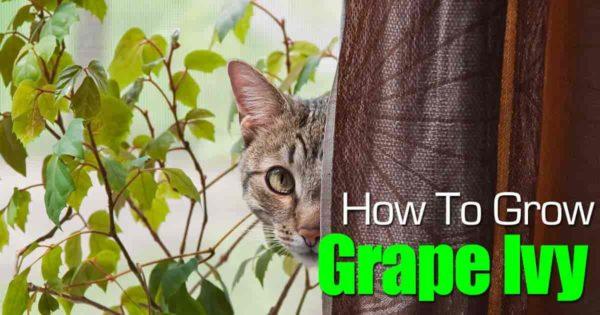 cat looking at grape ivy