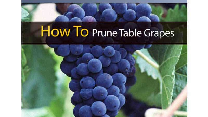 How to prune table grapes for Table grapes