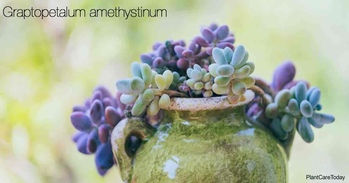 Attractive Graptopetalum Amethystinum (Lavender Pebbles) growing as a potted plant