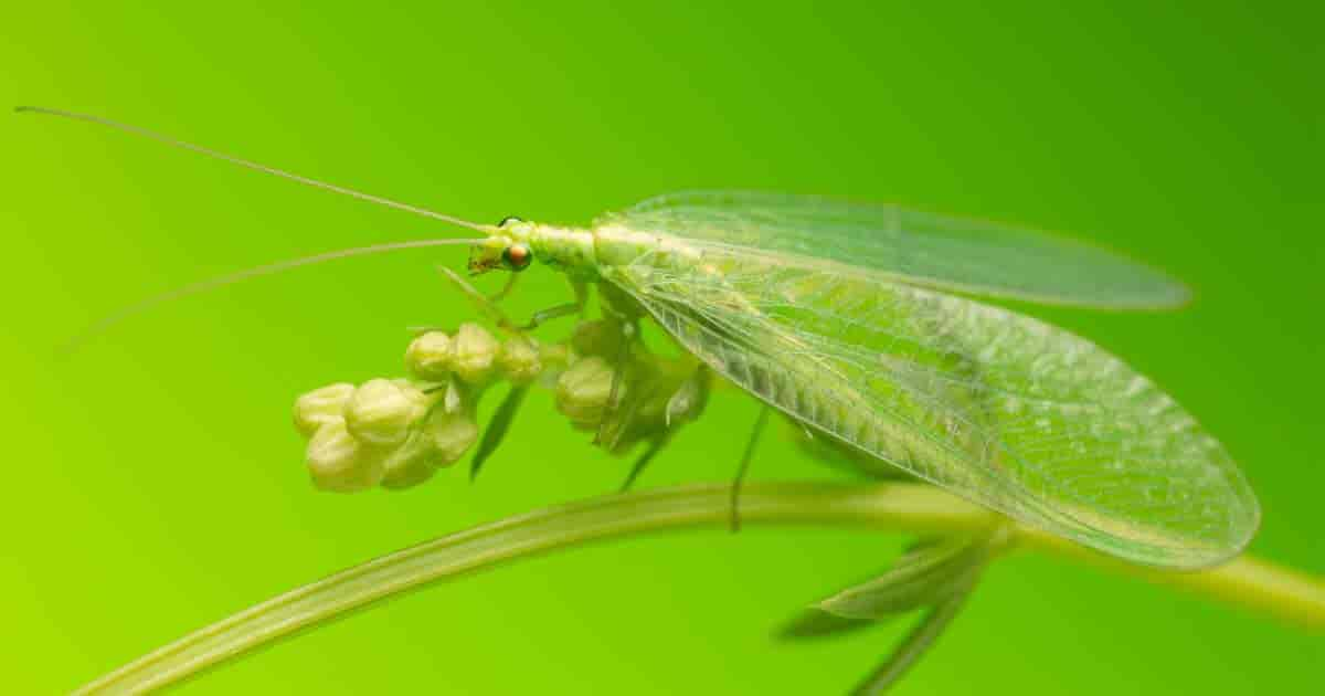 green lacewings - aka aphid lion - feeding