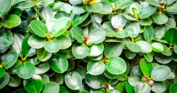 Ficus Green Island Mircocarpa