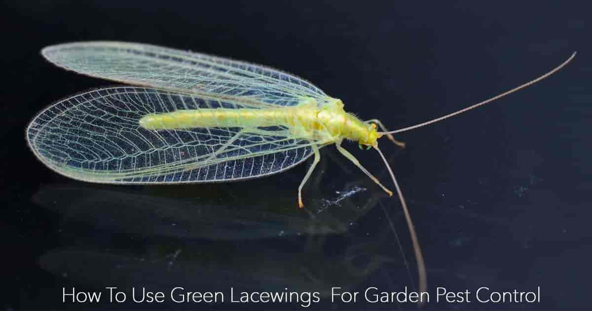 Green lacewing - the Aphid lion - used for garden pest control