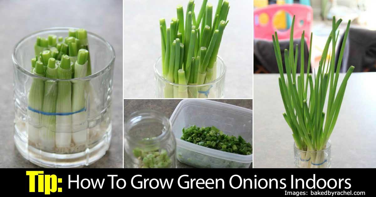 green-onions-indoors-63020151495